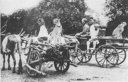 Последняя охота с участем гепардов. Индия, 1942 год