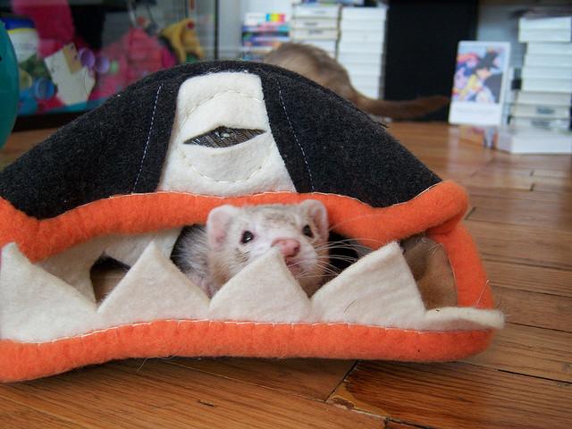 Хорек выглядывает из домика-рыбы. Фото