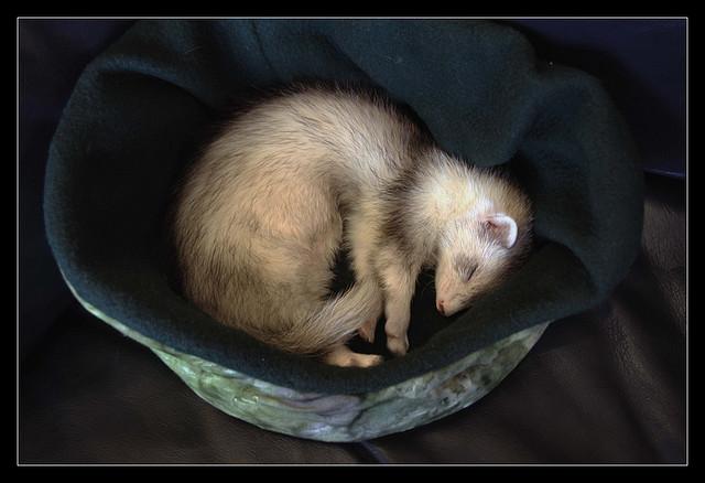 Хорек спит в гнезде. Фото