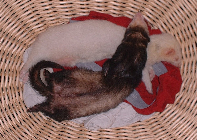 Два хорька спят в корзине. Фото