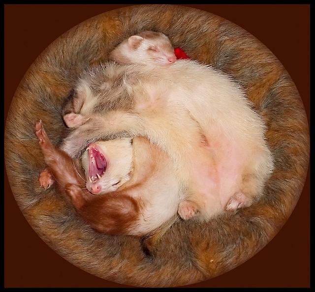 Два хорька спят в гнезде. Фото