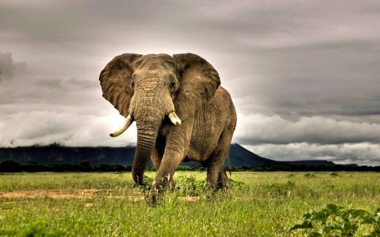 Самое крупное наземное млекопитающее - африканский слон. Фото