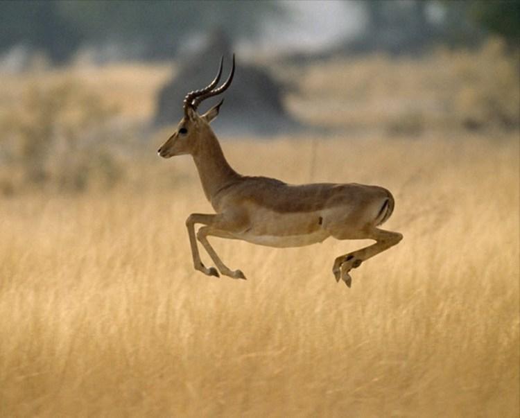 африканская чернопятая антилопа импала. Фото