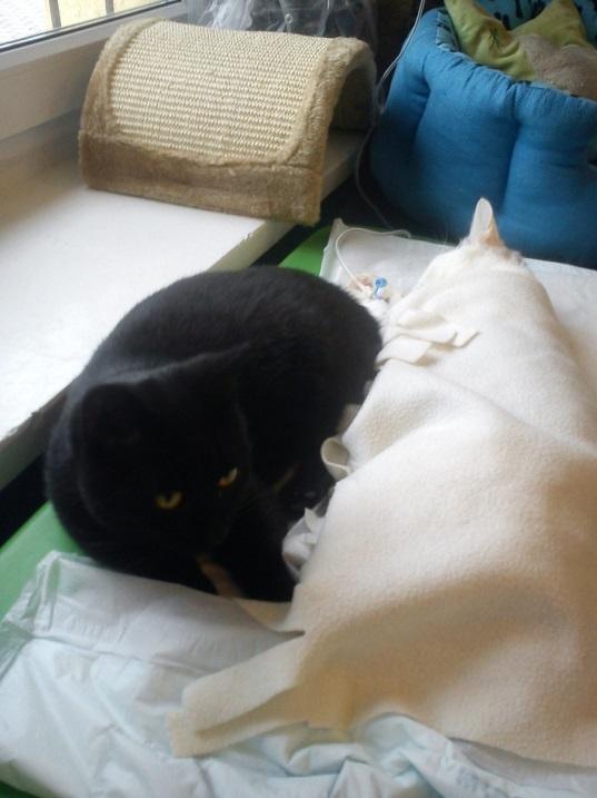 Радеменес - кот-медбрат из польского приюта для животных. Фото
