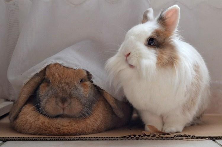 Декоративные львиноголовые кролики. Фото