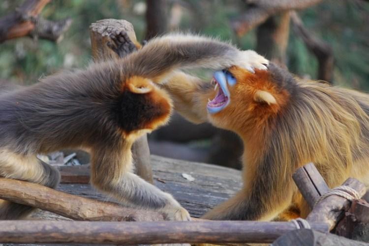 Золотистые курносые обезьяны. Фото