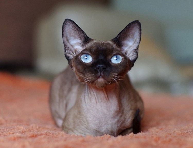 Порода кошек девон-рекс. Фото