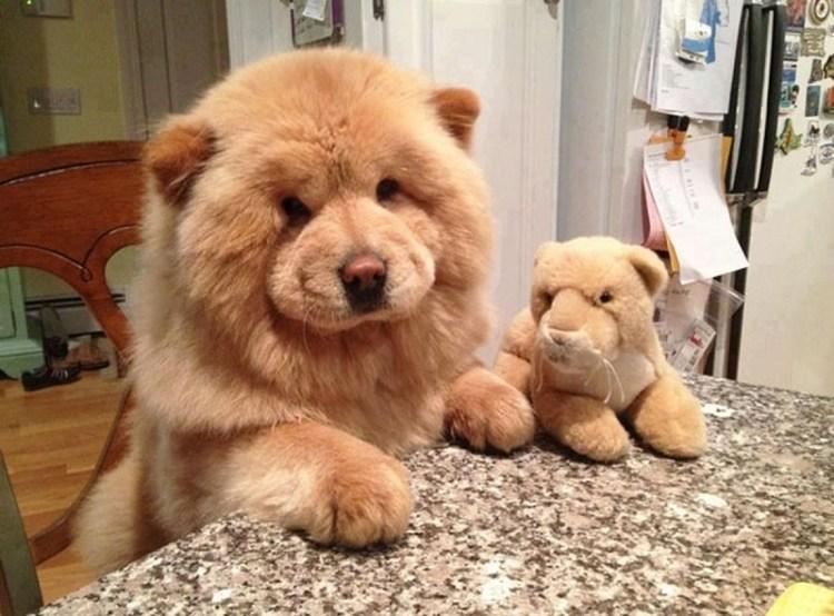 Порода собак чау-чау. Фото