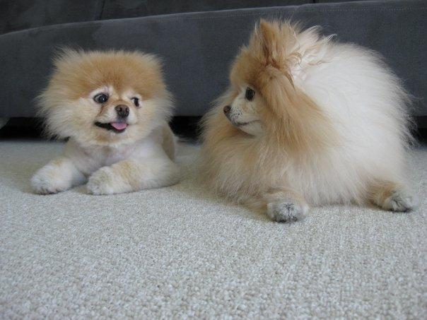 Щенок Бу смотрит на подружку. Фото