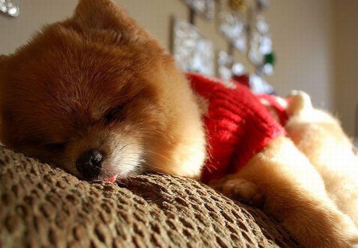 Щенок Бу спит, высунув язычок. Фото