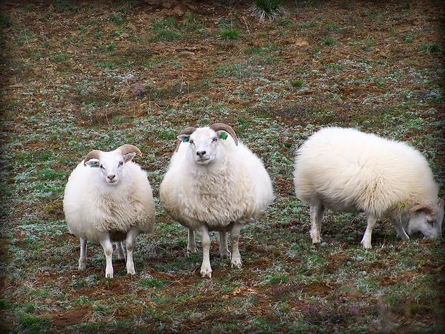 Овцы Исландии. Фото