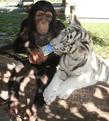 Шимпанзе Аджанта кормит подросшего тигренка из бутылочки. Фото