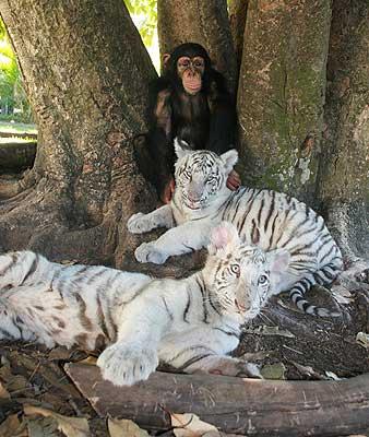 Семейная идиллия - шимпанзе и ее подросшие тигрята. Фото