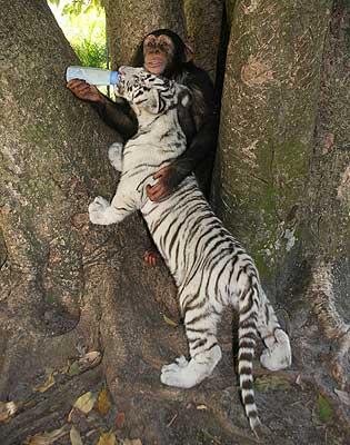 Обезьянка кормит подросшего белого тигренка. Фото