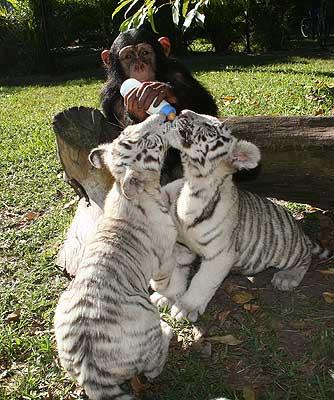 Шимпанзе кормит тигрят. Фото