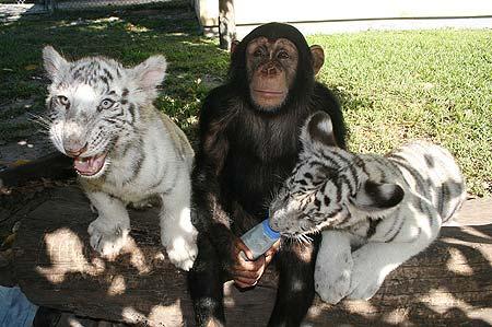 Обезьянка кормит белого тигренка из бутылочки. Фото