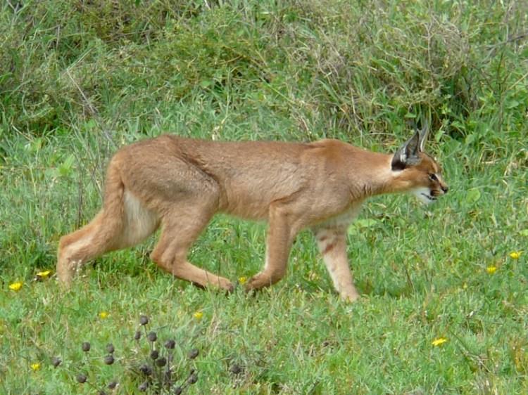 Каракал (степная рысь) на охоте. Фото / Caracal photo