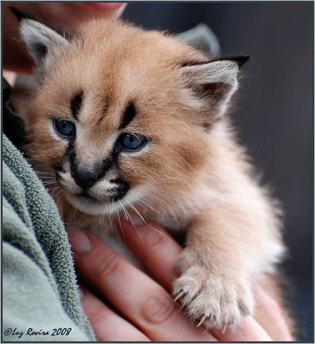Детеныш каракала. Фото / Caracal's cub. Photo