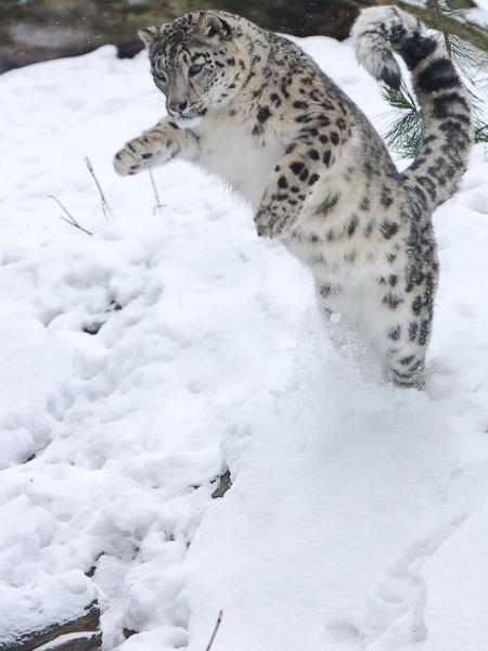 Снежный барс (ирбис) в прыжке. Фото / Snow Leopard. Photo