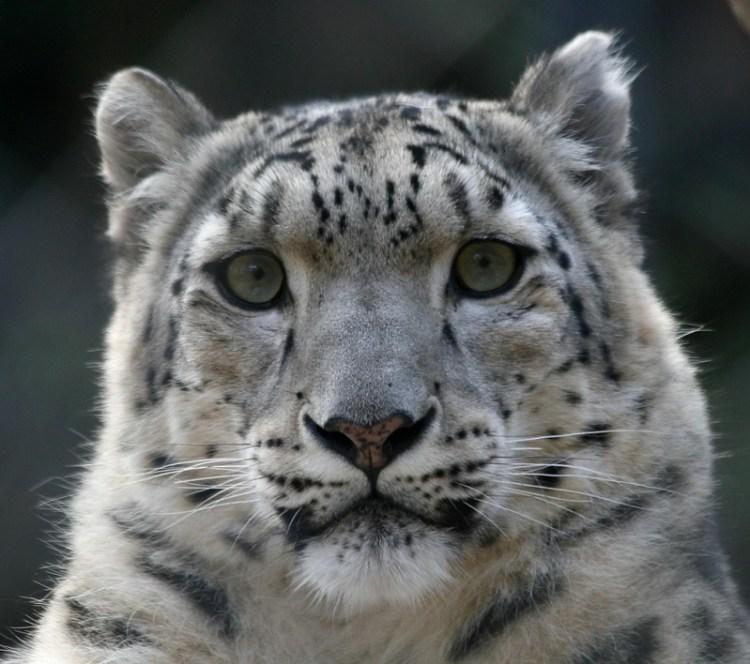 Грустный снежный барс (ирбис). Фото / Snow Leopard. Photo