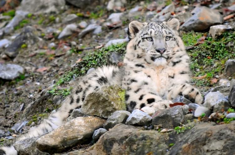 Лежащий среди камней снежный барс (ирбис). Фото / Snow Leopard. Photo