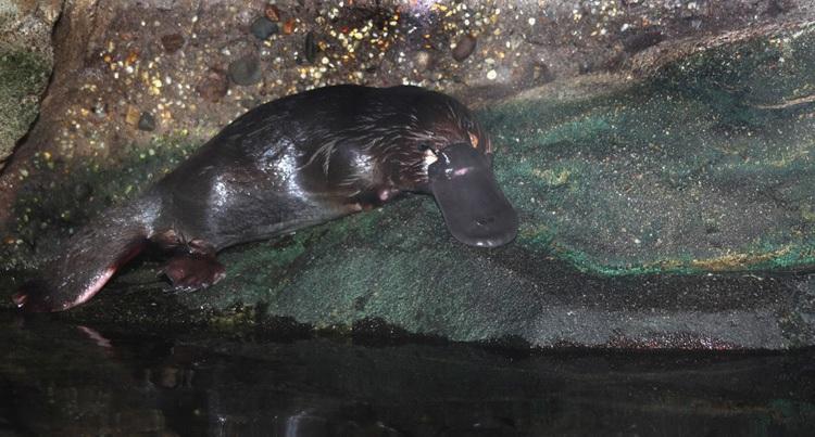 Утконос выполз на берег. Фото