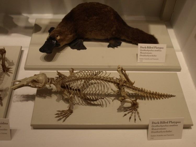 Чучело утконоса и его скелет. Фото