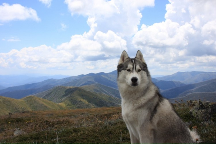 Сибирский хаски на фоне гор. Фото