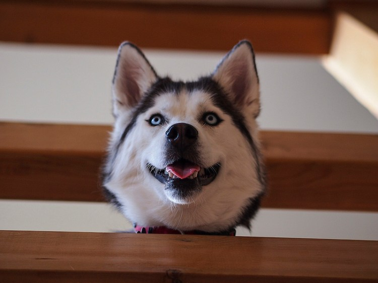Собака-улыбака породы сибирский хаски. Фото