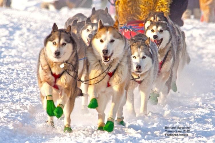 Гонка на собачьих упряжках (сибирские хаски). Фото
