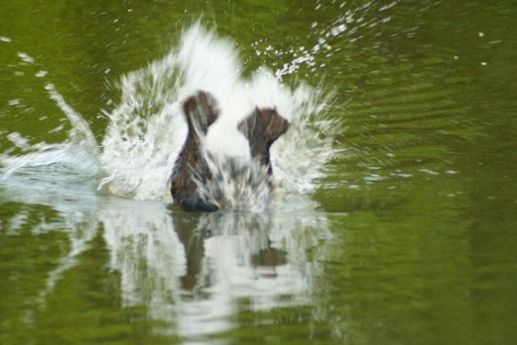 Бобр ныряет в воду, видны только его перепончатые лапы. Фото