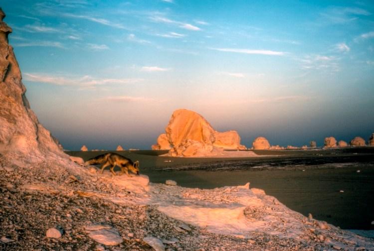 Фенек в Белой пустыне Египта. Фото