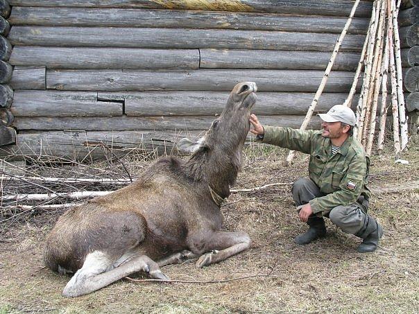 Лосиная ферма в Печоро-Илычском заповеднике. Фото