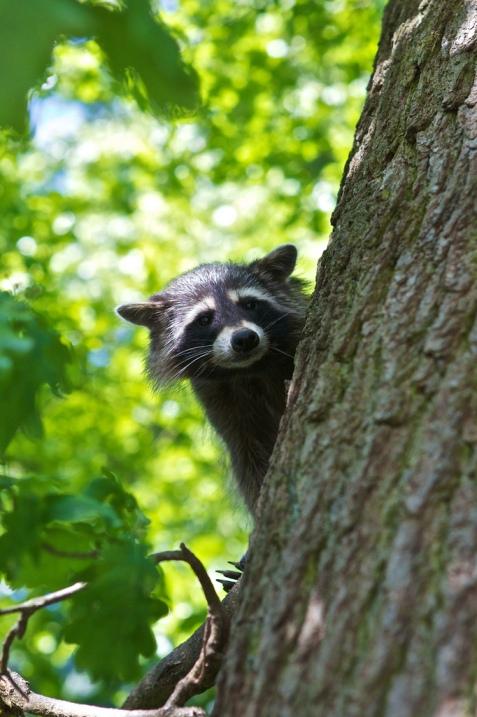 Енот выглядывает из-за дерева. Фото
