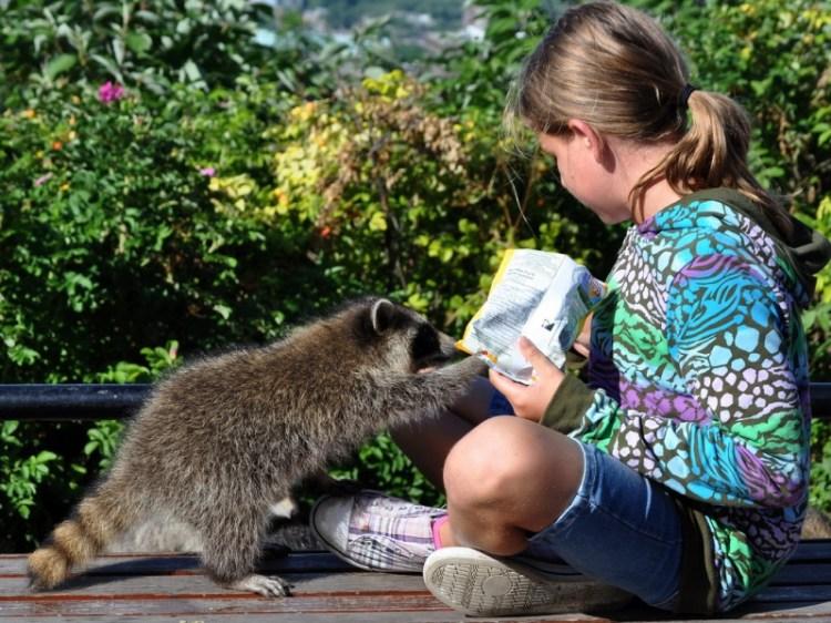 Девочка кормит маленького енота. Фото