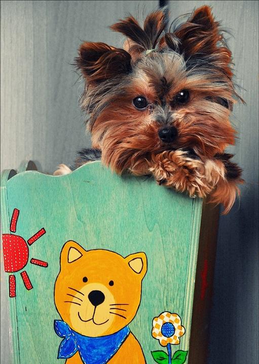 Красивый щенок породы йоркширский терьероркшир. Фото