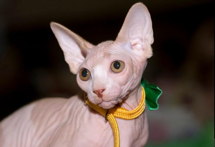 Лысая кошка. Канадский сфинкс. Красивое фото