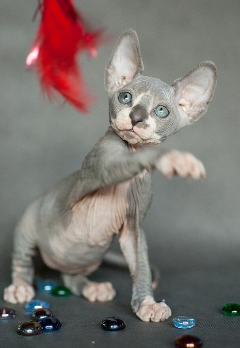 Котенок породаы канадский сфинкс. Красивое фото