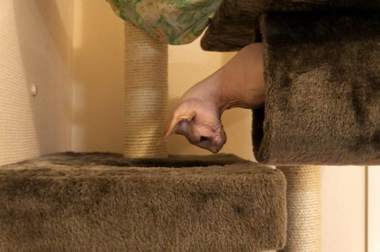 Голая кошка играет. Порода канадский сфинкс. Фото