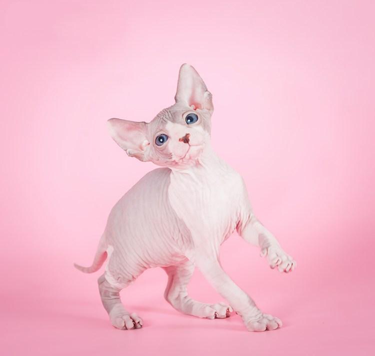Котенок породы канадский сфинкс. Красивое фото