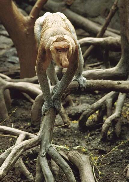 Носач на фоне ходячего дерева. остров Калимантан. Фото