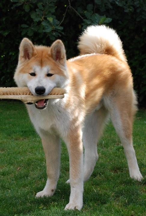 Собака породы японская акита-ину. В процессе игры