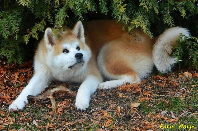 Порода собак японская акита-ину