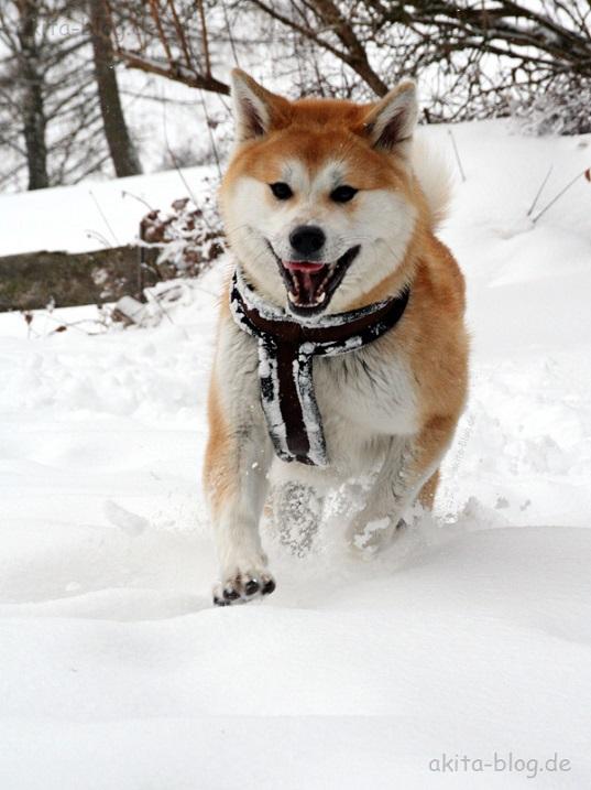Акита-ину - порода собаки из фильма Хатико