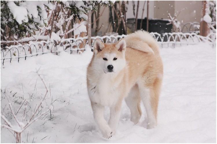 Собака акита-ину на снегу. Фото