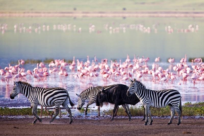 Национальный парк Озеро Накуру в Кении. Зебры. Фото
