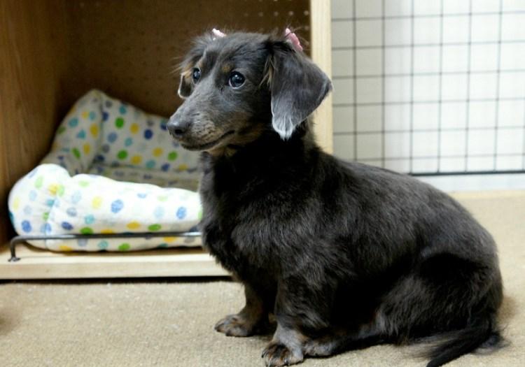 Порода собак кроличья такса длинношесртная черного окраса. Фото