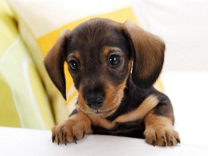 Порода собак кроличья такса. Фотопортрет щенка