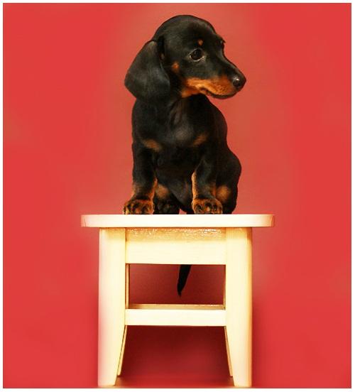 Порода собак кроличья такса. Красивое фото щенка