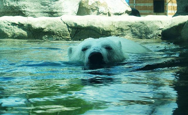 Белые медведи в бассейне. Кокрэйн. Фото